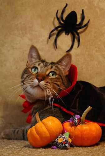 340 best Halloween Cats images on Pinterest | Black cats, Cats and ...