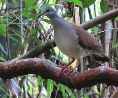 Leptotila battyi é uma espécie de ave da família Columbidae. Endémica do Panamá, tem distribuição restrita à costa do Pacífico, na Península de Azuero e nas ilhas de Cébaco e Coiba. [1]