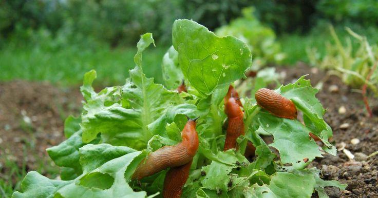Schneckenkorn, Scheckenzäune, Bierfallen, Lockpflanzen oder gar Laufenten: Wir zeigen Ihnen was wirklich hilft, die alljährliche Schnecken-Plage im Garten einzudämmen.