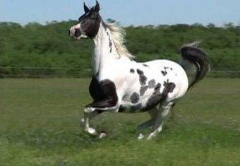 Comprar caballo (Pura Raza Arabe), (Pura Sangre Árabe), (Raid), (otros) en venta