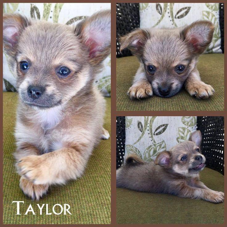 Adopt Taylor on Petfinder Dog adoption, Pets, Puppies
