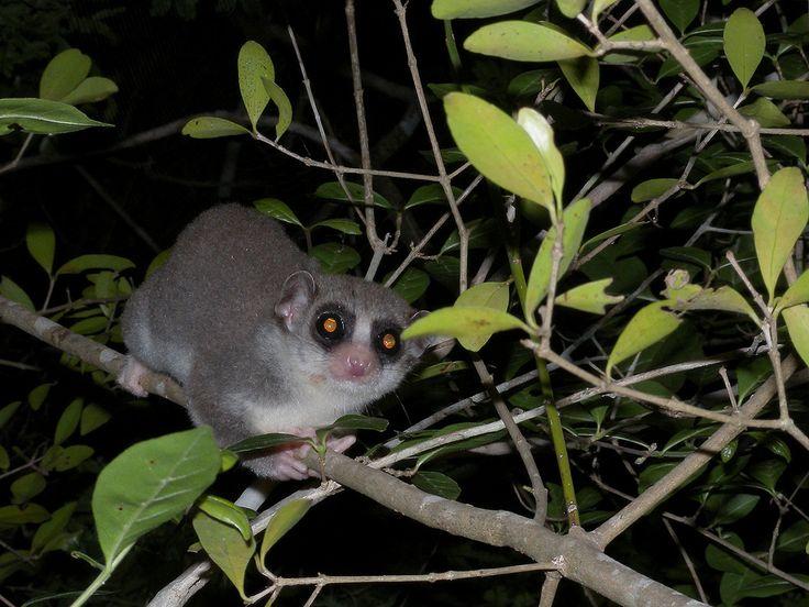 fat tailed dwarf lemur cheirogaleus medius kirindy madagascar