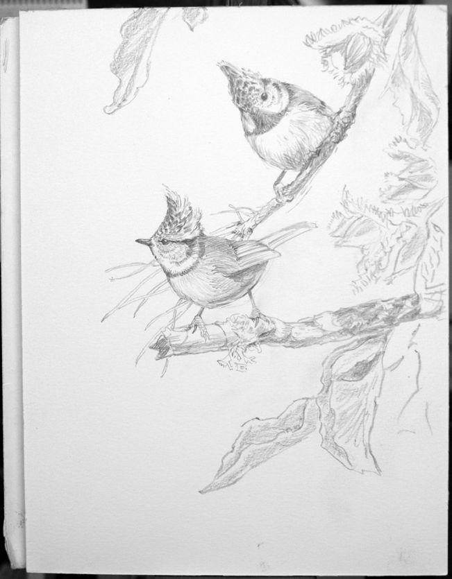 Cincia dal ciuffo, Crested tit, graphite study