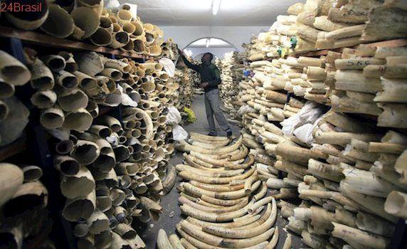 Organização do Príncipe William pressiona Reino Unido a proibir comércio de marfim