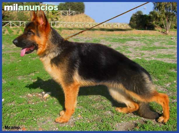 MIL ANUNCIOS.COM - Compra-venta de pastores alemanes en Málaga. Anuncios con fotos de pastores alemanes en Málaga. Perros pastor alemán en Málaga