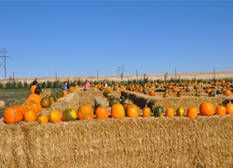 Pumpkin Festival at Black Fox Farm and Distillery - September 17th to 18th & 24th to 25th - 10:00AM to 5:00PM - $10 per vehicle