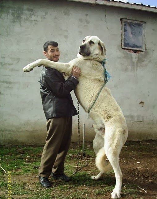 I want one! This is an Anatolian Shepherd Dog. They are great livestock guardian dogs.