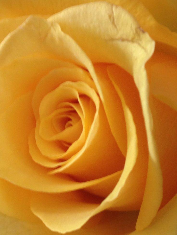 Peace Rose.  My favourite
