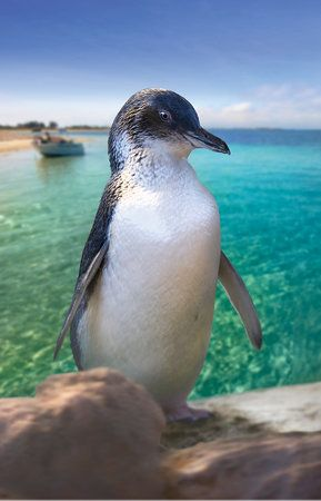 Book your tickets online for Penguin Island, Rockingham: See 869 reviews, articles, and 532 photos of Penguin Island, ranked No.2 on TripAdvisor among 27 attractions in Rockingham.