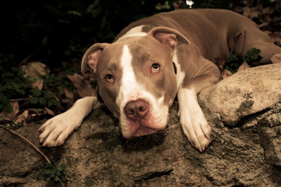 Sadly, pit bulls are hugely over populated in the state of California. Many end up in shelters and won't be adopted due to their unfortunate reputation. Let's change that thinking by showing how much you love them!