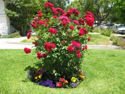 95 best GARDEN TX ROSE images on Pinterest Flowers Garden