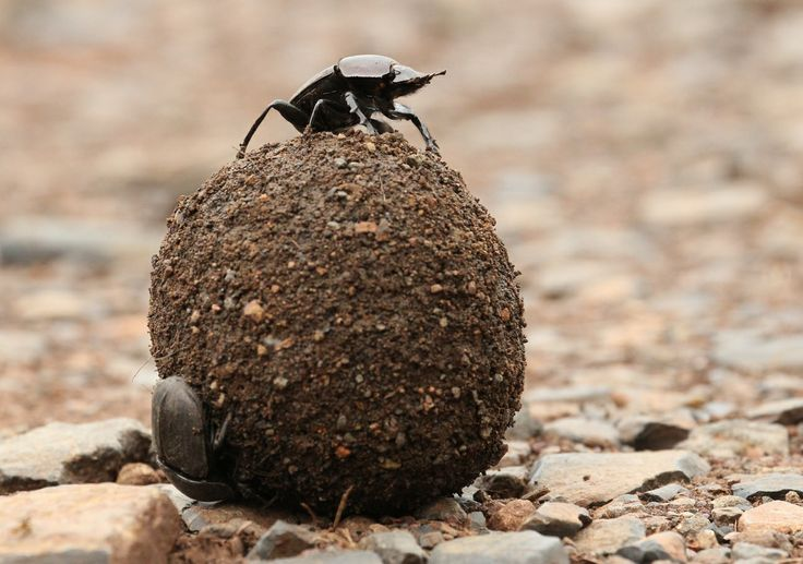 The important dung beetle family