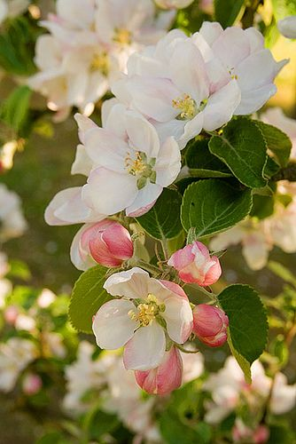 """Michigan state flower - Apple Blossom (Victorian meaning - """"preference, better things to come, good fortune, promise"""")"""
