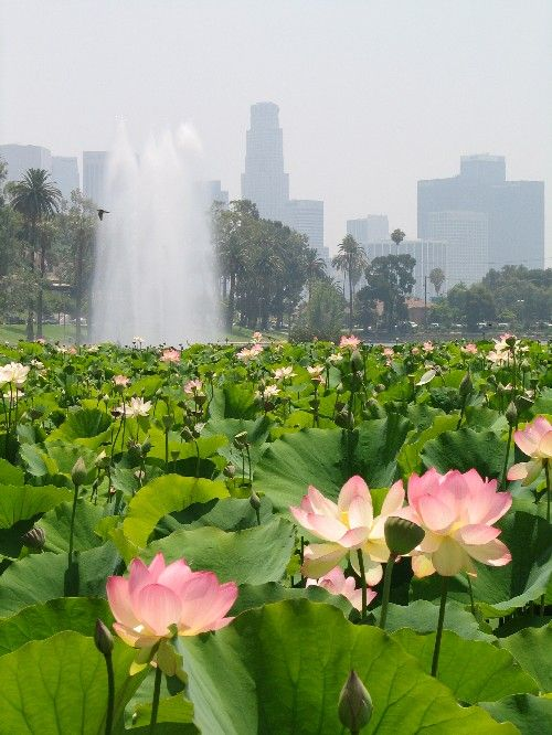Echo Park Lotus Festival takes place each July in the shadow of downtown Los Angeles  Festival organizers expect to relaunch the famed festival in 2013 after a complete rejuvenation of the lake at Echo Park. The lotus flower is significant to the Asian cultures as a symbol of rebirth, purity and life. Tip #44 from Van Ness Water Gardens www.vnwg.com