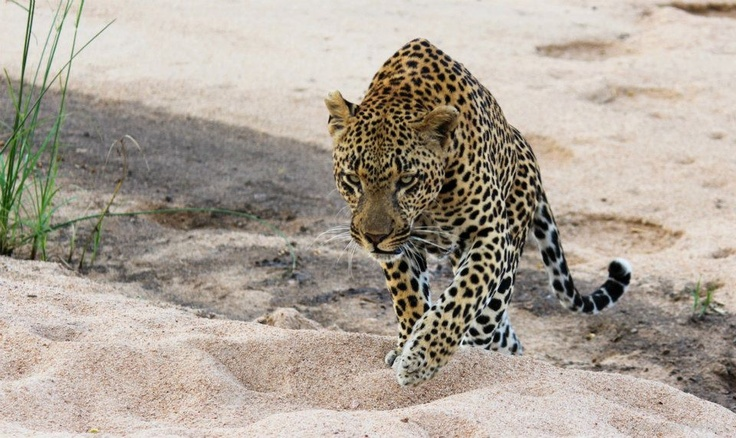 Airstrip Male - Warrior on the move - Gary Hill