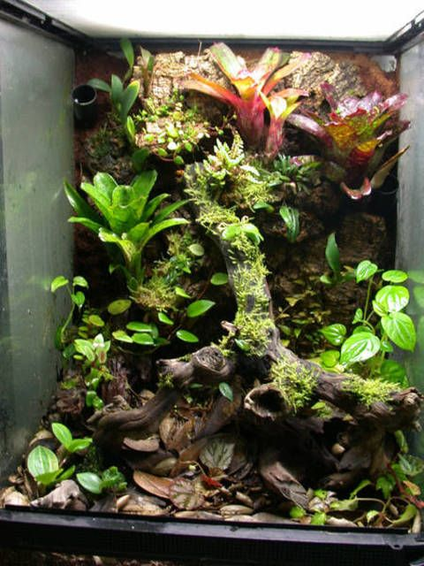 Vriesea racinae | This one is more grown in now with more ...