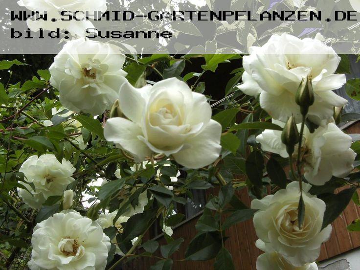 104 best pflanzen f r den garten images on pinterest plants garten and garden plants. Black Bedroom Furniture Sets. Home Design Ideas