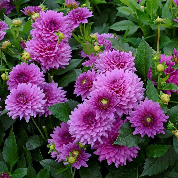 die besten 25 lila dahlie ideen auf pinterest lila blumen dunkel lila blumen und dahlie. Black Bedroom Furniture Sets. Home Design Ideas