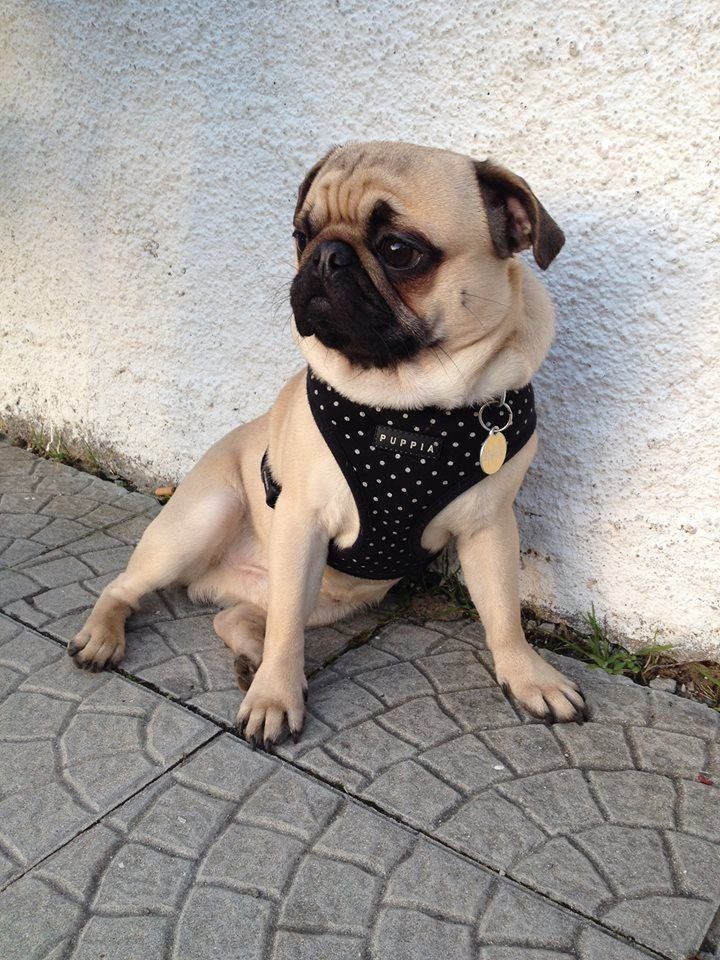Black Puppia Dotty Harness Available At Www Ilovepugs Co Uk Post