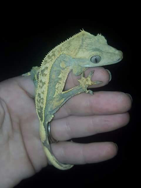 A crested gecko belonging to Crested Mania