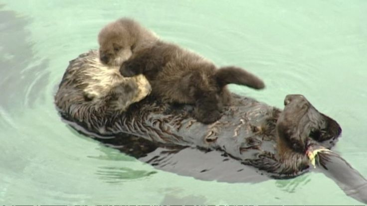 A baby otter became the center of attention at the Monterey Bay Aquarium. The mother spent the afternoon grooming it because puffing up the baby's fur makes it easier for the little one to float.
