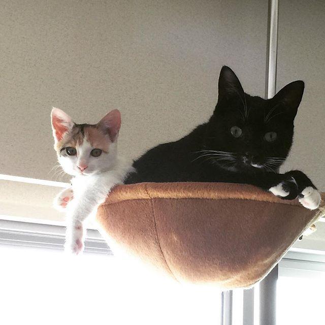 懐かしシリーズ! きなしゃんちっこい😆 この頃からずっとお兄ちゃん子₍˄·͈༝·͈˄₎◞ෆ⃛̑̑ෆ⃛  #freetempo_0323 #iPhoneography #iPhone7 #iPhoneonly #猫 #ねこ #ネコ #cat #cats #instacats #mycat #lovelycat #nekostagram #catstagram #lovecats #catlover #癒し #家猫 #愛猫 #ジジらいふ #きなこらいふ #にゃんら部 #kitty #nekoclub #保護猫 #多頭飼い #ねこすたぐらむ #にゃんすたぐらむ #にゃんだふるらいふ #猫のいる暮らし