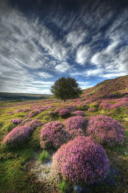 Heather Flowers - England