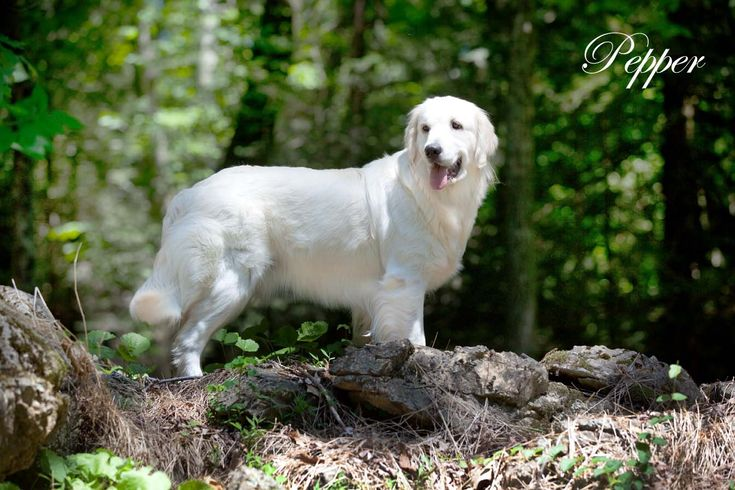 White lab puppies for sale in texas