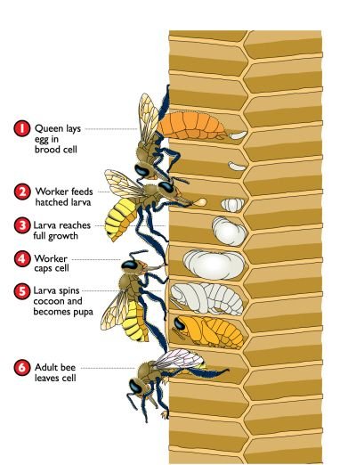How Bees Develop - Bee development. Great image. thx for sharing. http://www.mahakobees.com/blog