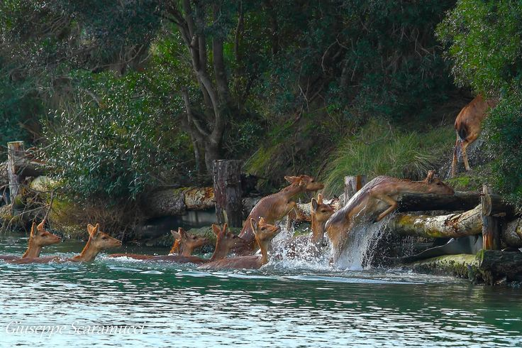 Deers crossing a river by Giuseppe Scaramucci on 500px