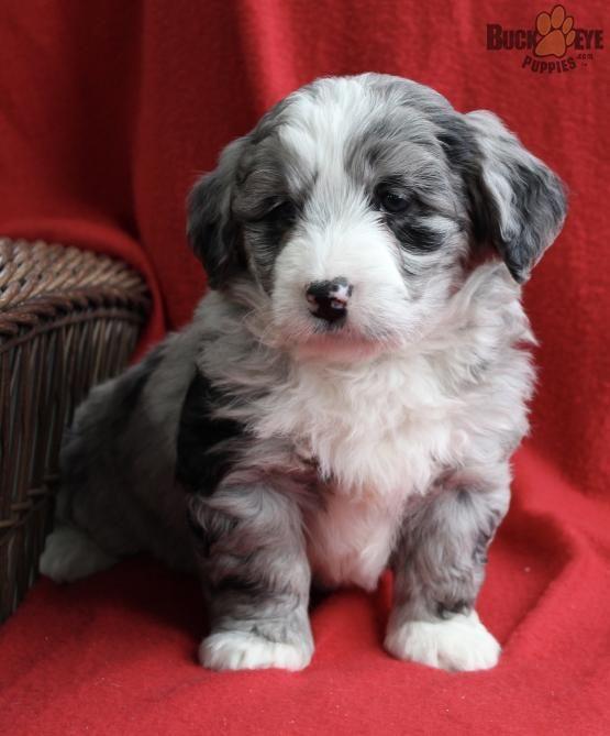 Bernesemountaindog Bernedoodle Bernedoodlepuppy Minibernedoodle Minibernedoodlepuppy Charming Puppieso Bernedoodle Puppy Mini Bernedoodle Bernedoodle