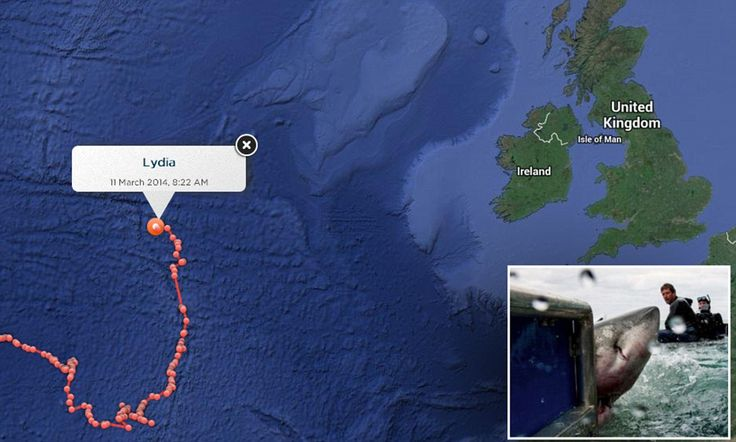 Is great white shark headed for Britain carrying pups?Luv following Lydia's journey!