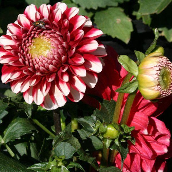Тип ординально юкако георгины семена луковицы бонсай растения-150 шт. семена
