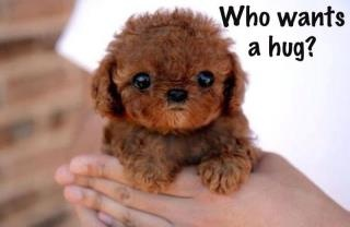 Cuteness: Cute Puppies, Little Puppies, Cutest Dogs, Teddy Bears, Puppy, Cutest Puppies, Baby, Animal, Toys Poodle