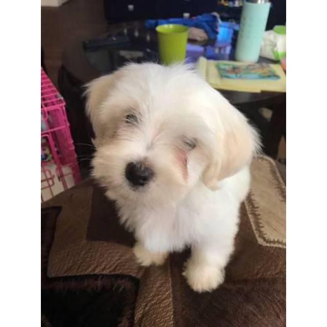 2 Months Old Akc Maltese Puppies Maltese Puppies 2 Month Olds