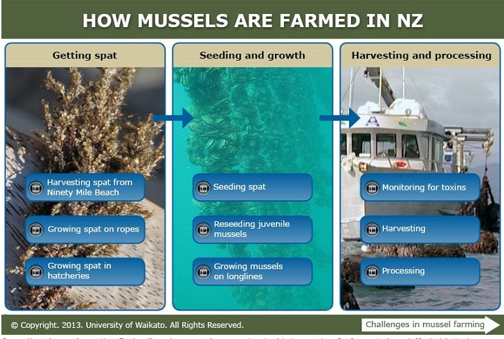 Green-lipped mussels are New Zealand's major aquaculture species. In this interactive, Professor Andrew Jeffs (Leigh Marine Laboratory) describes the key stages in farming green-lipped mussels. Click on the arrow (bottom right) to hear Andrew discuss some of the challenges faced by New Zealand's mussel farmers.