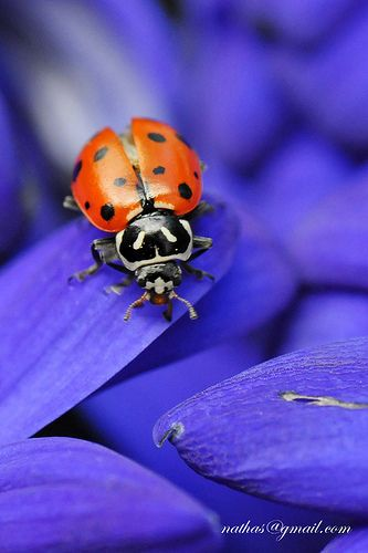 .:  Lady Beetle,  Ladybird Beetles, Ladybugs, Bugs Flying, Lady Beetles, Purple Petals, Macros Photography, Lady Bugs,  Ladybeetle