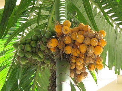 Biji Pinang, Efektif Putihkan Gigi Kuning