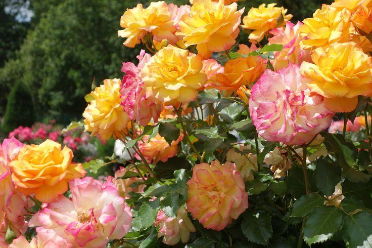 Roses in a garden - Rosen im Garten   #roses #rose #rosen #garten #gardening #flowers #flower