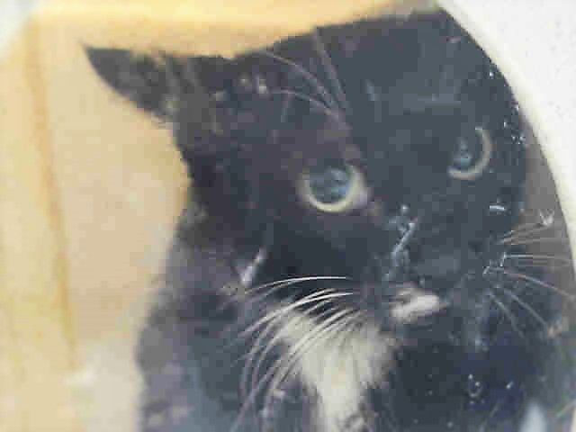 PULPO - A1093370 - - Brooklyn  ***TO BE DESTROYED 10/19/16*** PULPO IS BEGGING TO GET OUT OF THE ACC ALIVE! CAN YOU HELP HER?? PULPO – which means OCTOPUS in Spanish, is a very pretty tuxie girl with a terrible photo and awful name! PULPO is afraid – because she was trapped, caged, and all she is doing is trying to get away. The ACC will escort this lady out tomorrow – but it may not be alive. PULPO may be a lost or abandoned pet. She is New Hope rated bec