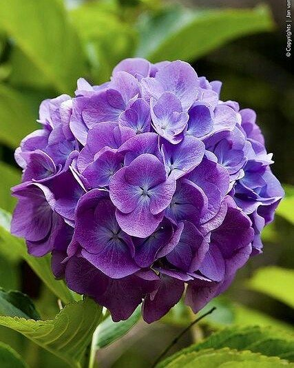 Purple Hydrangea always makes a beautiful bouquet...beautiful picture.