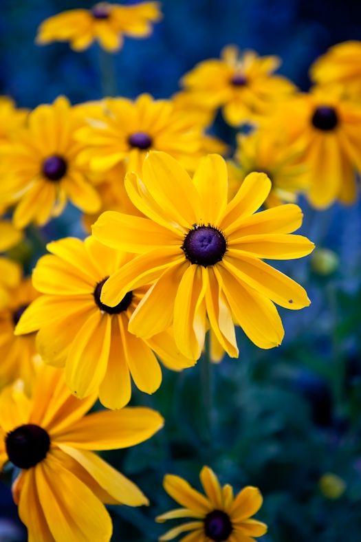 ...Beautiful Flower, Black Eye, Eye Susan, Colors, Black Ey Susan, Flower Yellow, Yellow Daisies, Black Ey Daisies, Yellow Flower