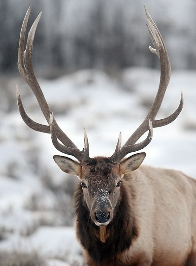 Photos: Winter in Yellowstone National Park | Wildlife still abounds during the harsh winter months in Yellowstone National Park. (Will Lester/Staff Photographer/Inland Valley Daily Bulletin)