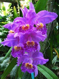 Orquideas Flor Nacional Venezolana.