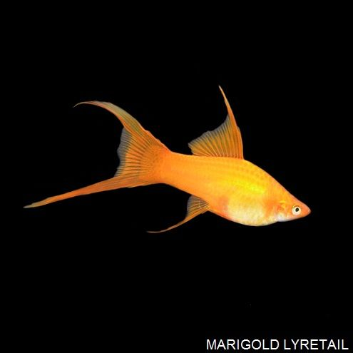 Marigold Lyretail Swordtail Tropical Fish