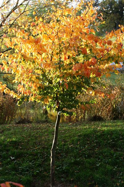 Buy persian ironwood parrotia persica delivery by crocus for Garden deciduous trees