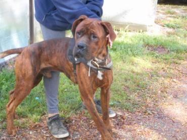 Frankie, #Boxer #Rottweiler Mix, 3 Jahre, Familienhund