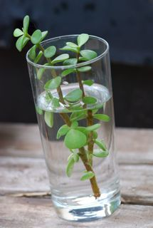 How to propagate different plants.  This plant in the picture is one of my favorites...I think it's Elephant's Food