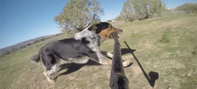 A Dog Jumping Around While Holding a Selfie Stick in Its Mouth Is the Greatest Thing