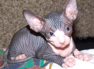 Sphynx Cat Adoption Philadelphia